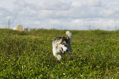 Sled dog breed Malamute Royalty Free Stock Photography
