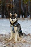 Sled dog breed Siberian Husky Royalty Free Stock Photo