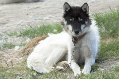Sled dog. Chained sled dog in Greenland Royalty Free Stock Images