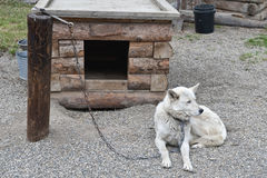 Sled Dog Chained To Post Royalty Free Stock Photos