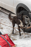 Sled Dog Chained by Truck Barks Royalty Free Stock Photos