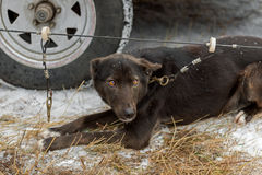 Sled Dog Clipped to Line Near Truck Royalty Free Stock Photography