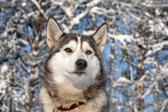Sled dog close-up Stock Image