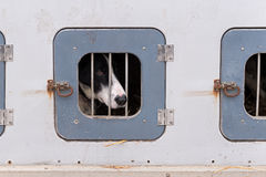 Sled Dog Confined in Dog Box Royalty Free Stock Photos