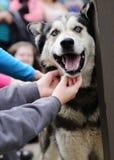 Sled Dog Denali National Park Alaska Stock Photography