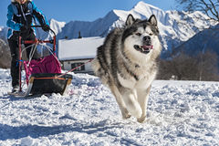 Sled dog Royalty Free Stock Photo
