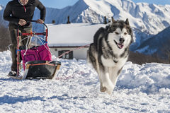 Sled dog Stock Photography