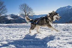 Sled dog Royalty Free Stock Image