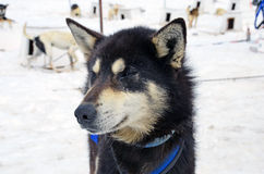 Sled dog face. In a dog camp Royalty Free Stock Photography