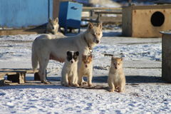 Sled dog family. With mom and 3 puppies Royalty Free Stock Photography