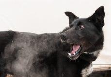 Sled Dog Frosty Breath Royalty Free Stock Photo