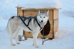 Sled dog. The sled dog is girded and chained up near its kennel. It is standing on the snow Stock Photos