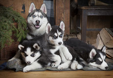Sled dog (Husky) family. Two months old Husky puppies with their mother indoors Royalty Free Stock Photos
