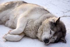 Sled dog husky. Resting in the snow with my eyes closed Stock Images