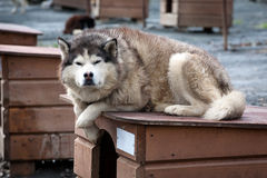 Sled dog laying on its doghouse. Close up portrait of noble sled dog a Chukchi husky breed laying on its doghouse Royalty Free Stock Photography