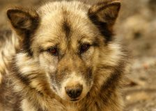 Greenland Sled Dog. Sled dog looking straight into the camera Royalty Free Stock Photography