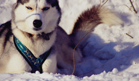 Sled dog lying in the snow. Siberian Husky after racing buried in snow Royalty Free Stock Photo