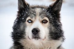 Sled dog with multicolor eyes Royalty Free Stock Photo