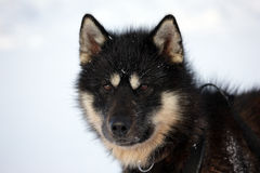 Sled dog on the pack ice of East Greenland. Sled or sledge dog, East Greenland, Scoresbysund, the Arctic Royalty Free Stock Photos