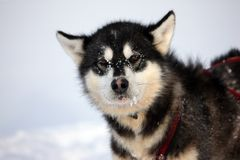 Sled dog on the pack ice of East Greenland Stock Photography