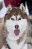 Sled dog. Picture of a sled dog competition Royalty Free Stock Images