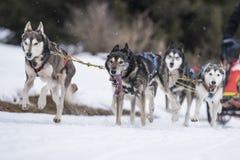 Sled dog Royalty Free Stock Photos