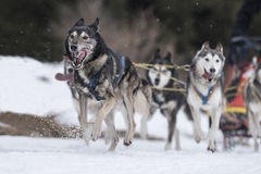 Sled dog. Picture of a sled dog competition Stock Image