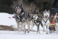 Sled dog Stock Image