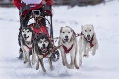 Sled dog Royalty Free Stock Photography