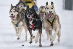 Sled dog Royalty Free Stock Photo