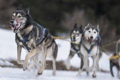 Sled dog Royalty Free Stock Image