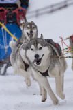 Sled dog Stock Photos