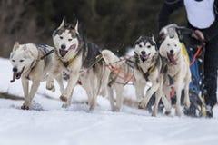 Sled dog Stock Photos