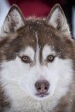 Sled dog Stock Images
