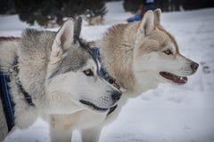 Sled dog Stock Photo