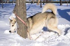 Sled dog playing hide and seek. Sled dog fun playing hide and seek in the snow Royalty Free Stock Photo