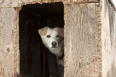 Sled Dog In Plywood Kennel. A single sled dog watching warily from inside the door of its weather-beaten plywood kennel Royalty Free Stock Image