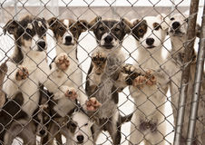 Sled Dog Puppies. A litter of seven puppies in training to become sled dogs stand and wait for visitors behind a chain link fence Royalty Free Stock Photos