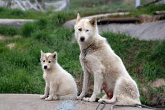 Sled dog with puppy in Ilulissat Stock Photos