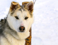 Sled dog puppy Siberian Husky closeup. Sled dog puppy Siberian Husky closeup Stock Photography