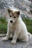 Sled dog puppy sitting in Ilulissat. Greenland Stock Image