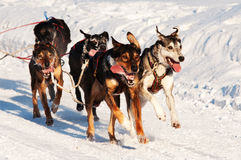 Sled dog race Royalty Free Stock Photos