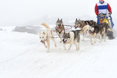 Sled dog race stock photography