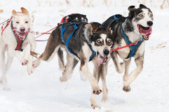 Sled dog race Royalty Free Stock Image