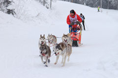 Sled Dog Race, dog team during the competition Royalty Free Stock Image