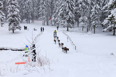 Sled Dog Race, dog team during the skijoring competition Royalty Free Stock Photography