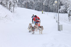 Sled Dog Race, dogs and driver during the skijoring competition. PETROZAVODSK, RUSSIA - JANUARY 24TH, 2016: Sled Dog Race, dogs and driver during the skijoring Stock Photo