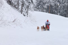 Sled Dog Race, driver and dogs during the competition Stock Image