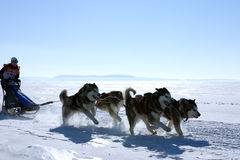 Sled dog race Husky in winter Royalty Free Stock Photo