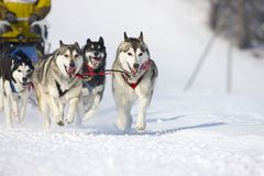 Sled dog Race in Lenk / Switzerland 2012 Royalty Free Stock Photography